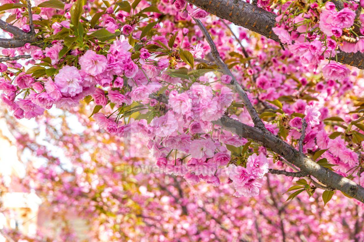Branch of blossoming pink sakura tree, 15413, Nature — PoweredTemplate.com