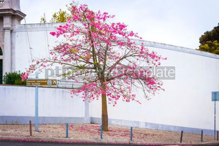 Nature: Silk floss tree on the street of Lisbon city Portugal #15417