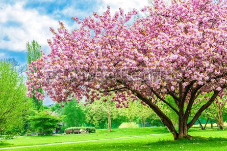 Nature: Beautiful sakura tree in the park #15519