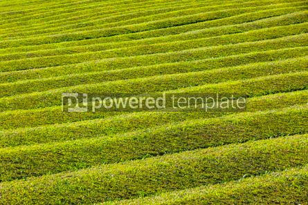Nature: Tea plantation on Sao Miguel island Azores Portugal #15526
