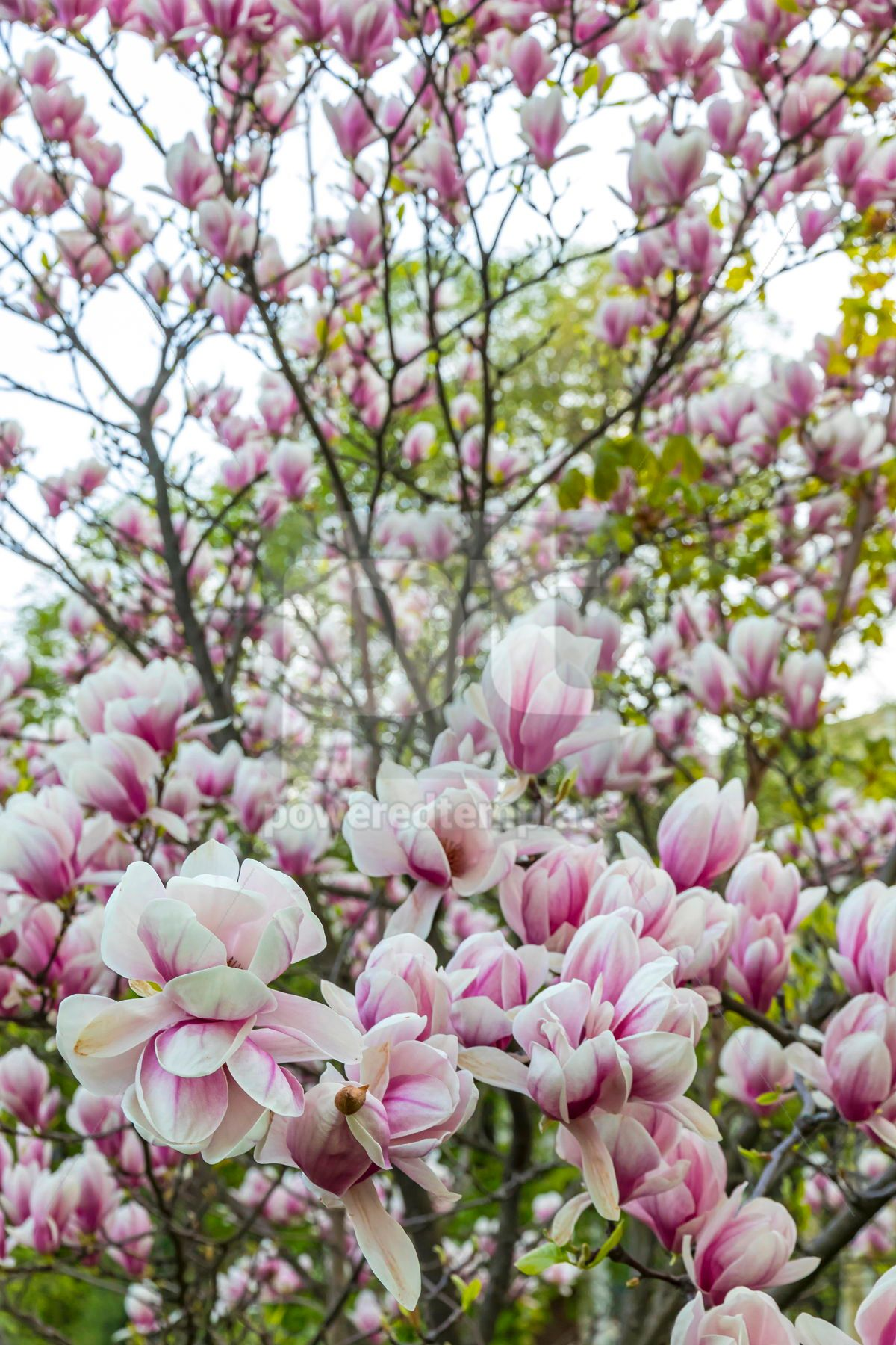 Pink magnolia flower in the garden, 15533, Nature — PoweredTemplate.com