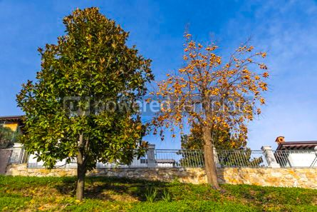 Nature: Riped orange Persimmon Kaki fruits on a tree #15540