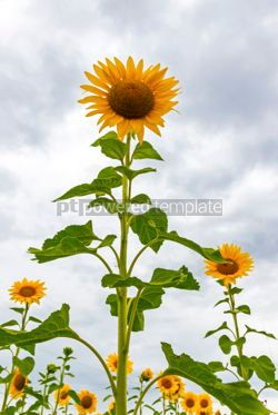 Nature: Sunflowers blooming on a meadow #15554