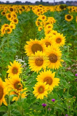 Nature: Sunflowers blooming on a meadow #15555
