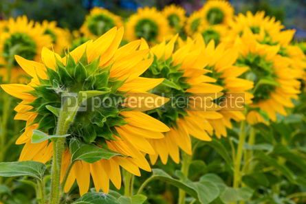 Nature: Close-up sunflower blooming on a meadow #15556