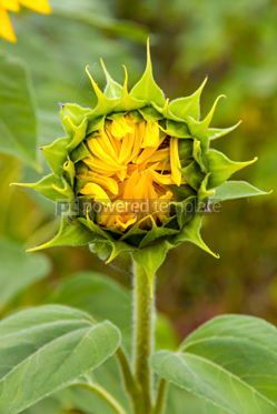 Nature: Close-up details of young fresh sunflower #15557
