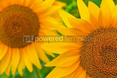 Nature: Close-up sunflower blooming on a meadow #15558