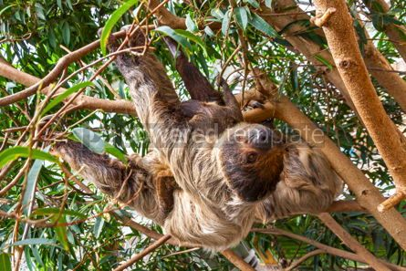 Animals: Cute brown-throated sloth crawling on a tree #15565