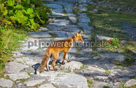 Animals: Little fox at the forest in High Tatras mountains Slovakia #15566