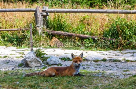Animals: Little fox at the forest in High Tatras mountains Slovakia #15567
