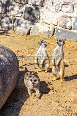 Animals: Family of Meerkats or Suricates Suricata suricatta #15569