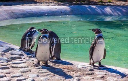 Animals: Humboldt penguins Latin Spheniscus humboldti #15570