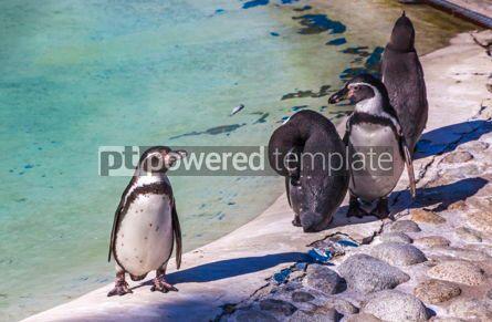 Animals: Humboldt penguins Latin Spheniscus humboldti #15571