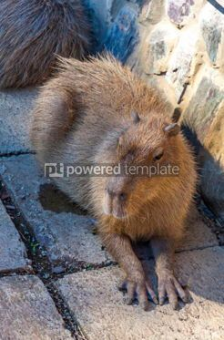 Animals: Capybara Hydrochoerus hydrochaeris largest rodent #15572