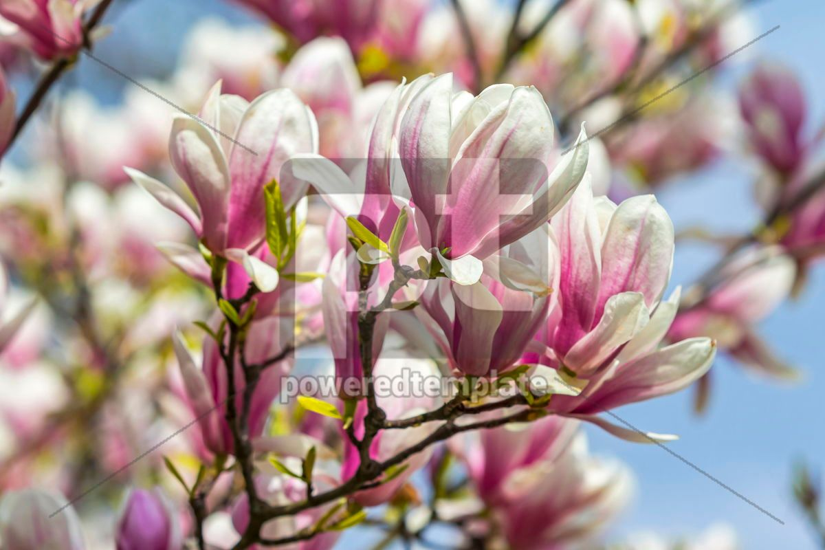 Pink magnolia flowers in the garden, 15859, Nature — PoweredTemplate.com