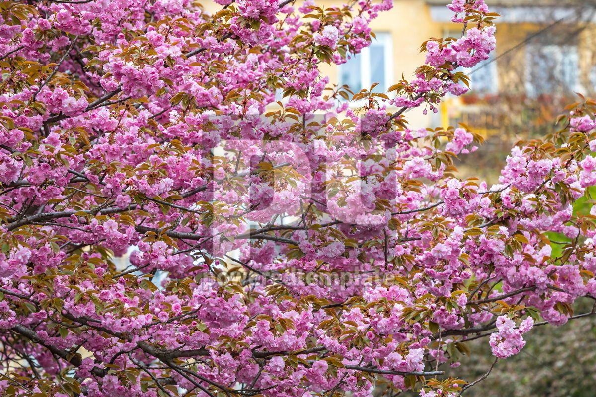 Blossoming pink sakura trees, 15860, Nature — PoweredTemplate.com