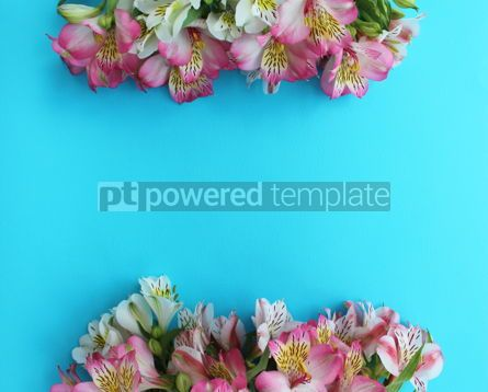 Nature: Azure background with pink and white alstroemeria flowers #15894