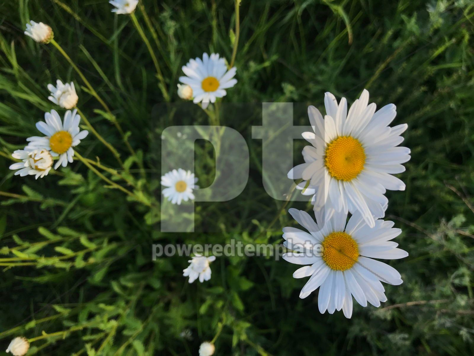 Meadow with white daisy flowers, 16397, Nature — PoweredTemplate.com