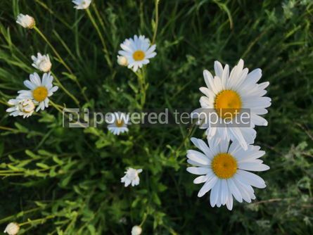 Nature: Meadow with white daisy flowers #16397