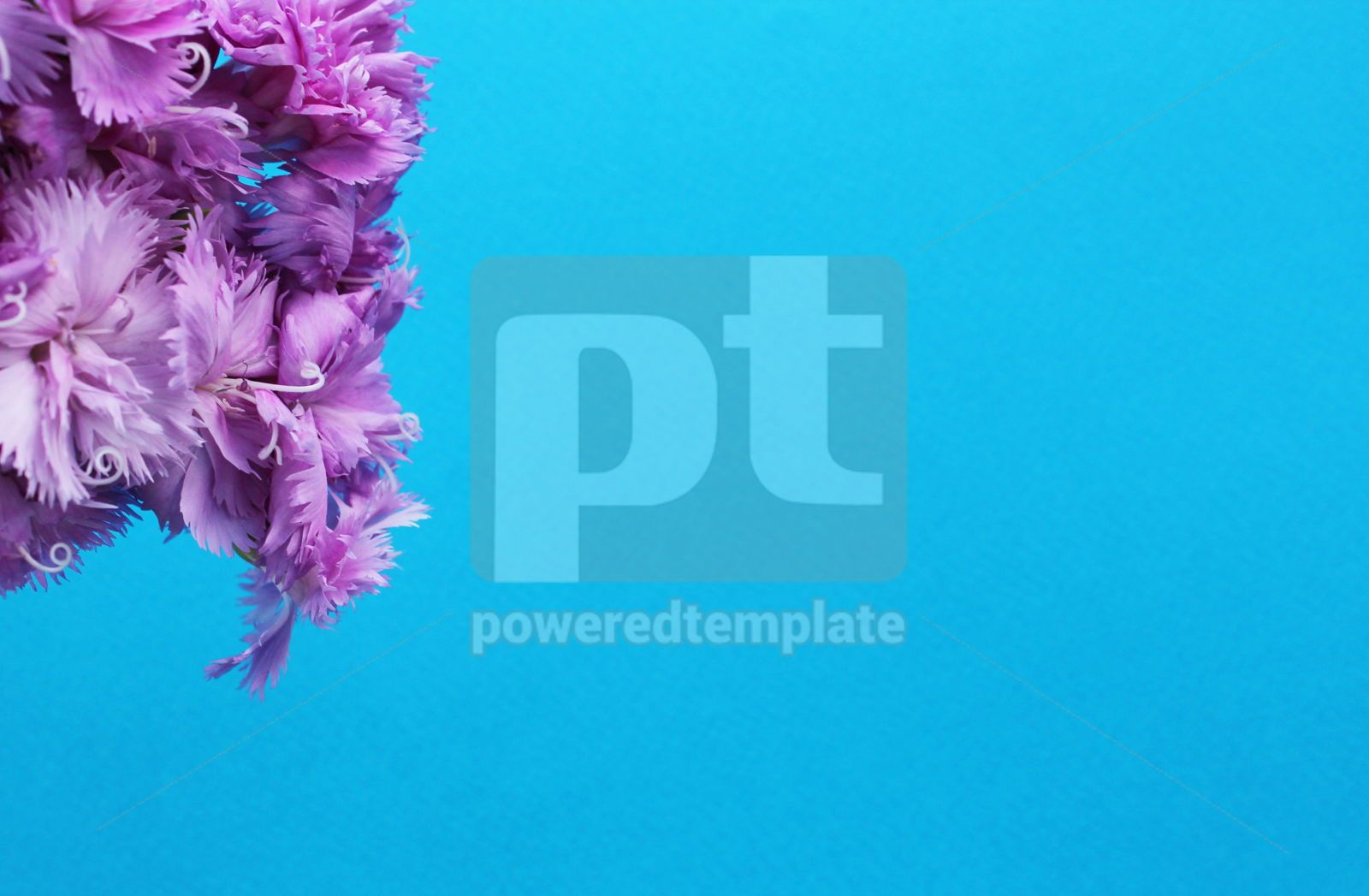 Purple carnation flowers on a blue background Flower azure background, 16401, Nature — PoweredTemplate.com