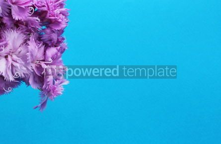 Nature: Purple carnation flowers on a blue background Flower azure background #16401