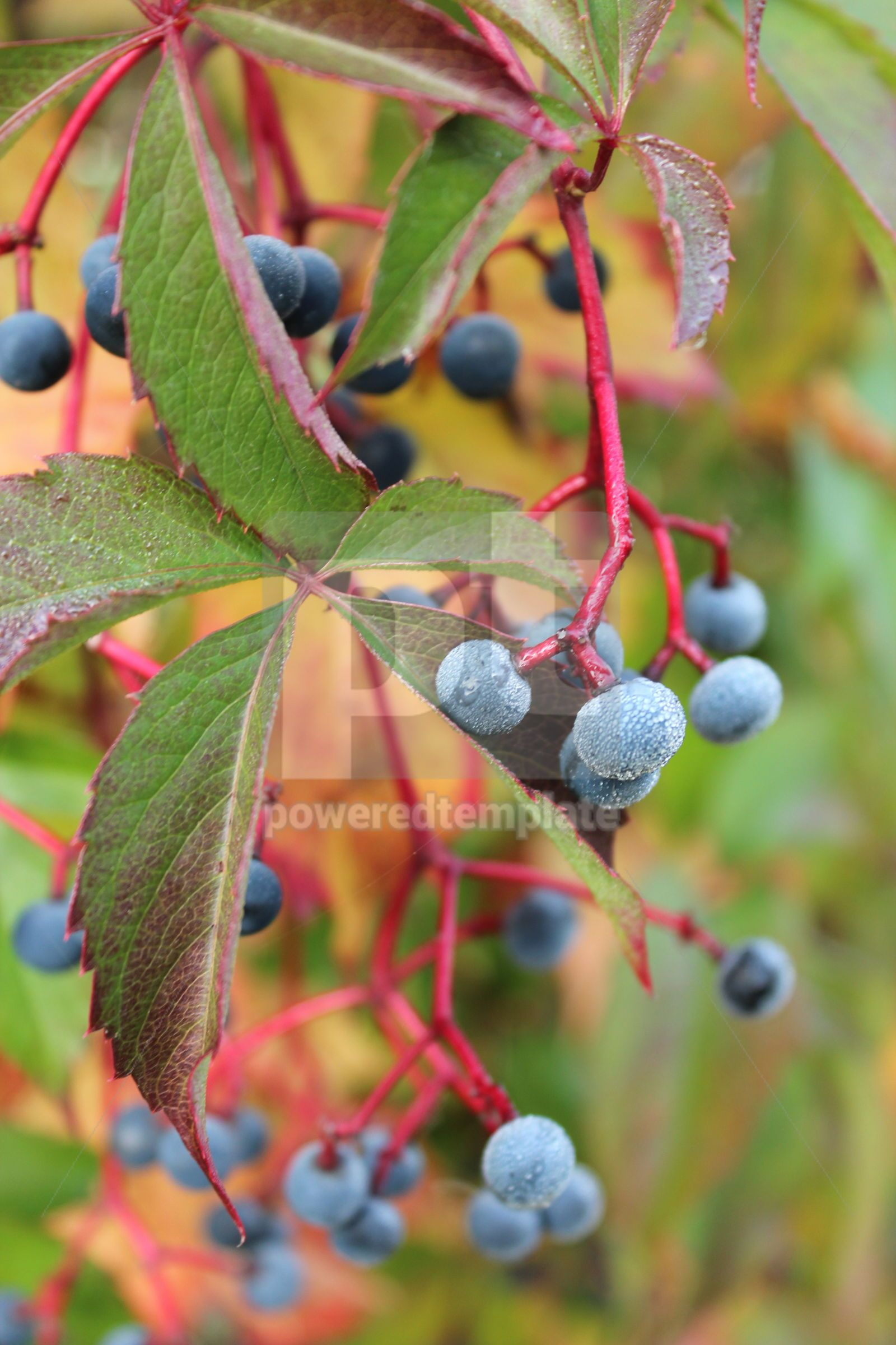 Autumnal view of ivy blue berries and red foliage Wild grape berry, 16402, Nature — PoweredTemplate.com