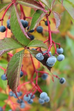 Nature: Autumnal view of ivy blue berries and red foliage Wild grape berry #16402