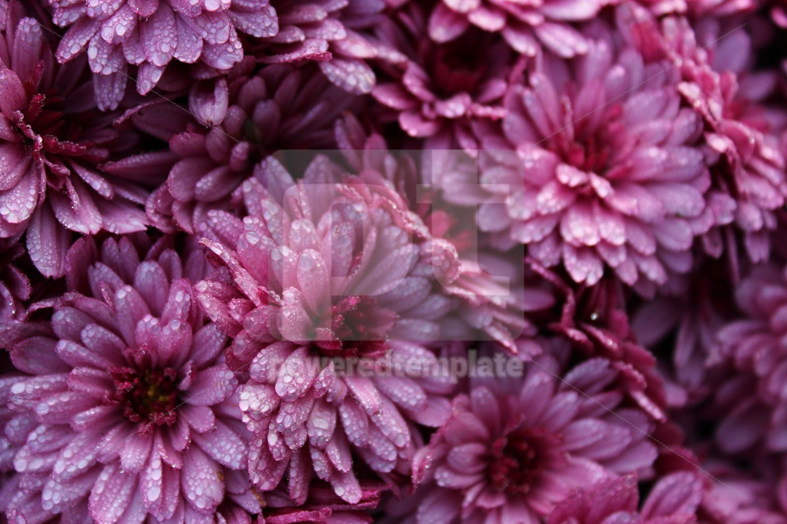 Close-up photo of a bunch of dark pink chrysanthemum flowers covered with drops of morning dew, 16403, Nature — PoweredTemplate.com