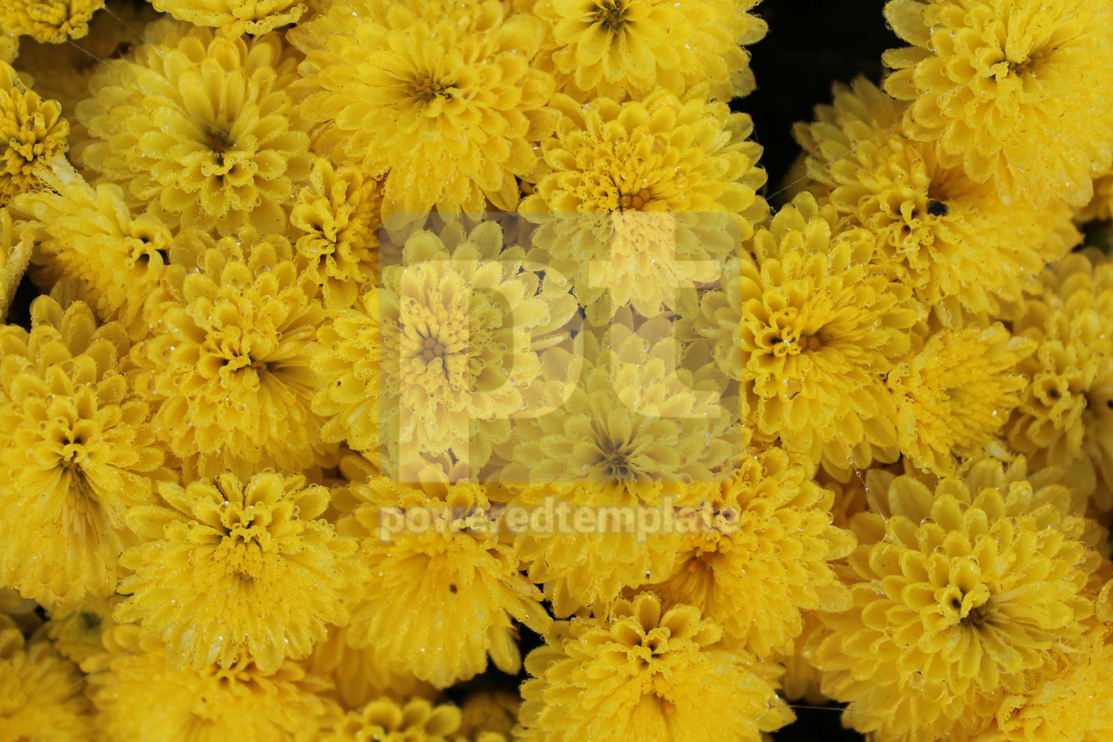 Autumn background with bright yellow flowers Close-up image of yellow chrysanthemums, 16411, Nature — PoweredTemplate.com
