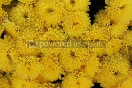 Nature: Autumn background with bright yellow flowers Close-up image of yellow chrysanthemums #16411