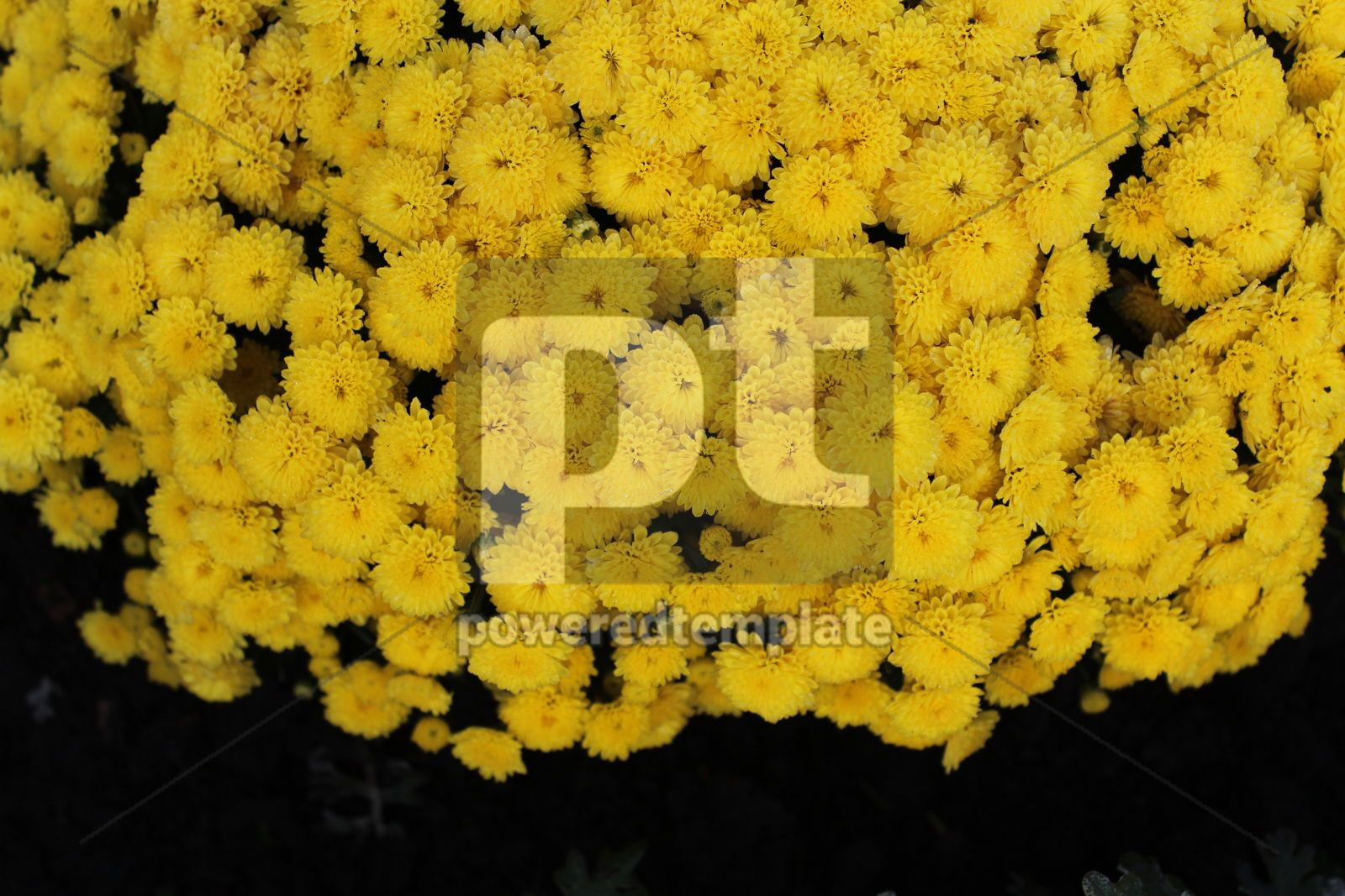 Autumn background with bright yellow chrysanthemums Yellow autumn flowers, 16412, Nature — PoweredTemplate.com