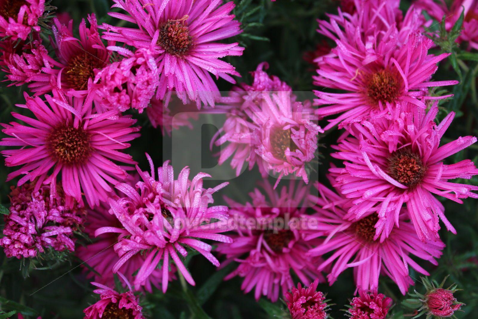 Autumn flowers Bright pink chrysanthemums, 16413, Nature — PoweredTemplate.com