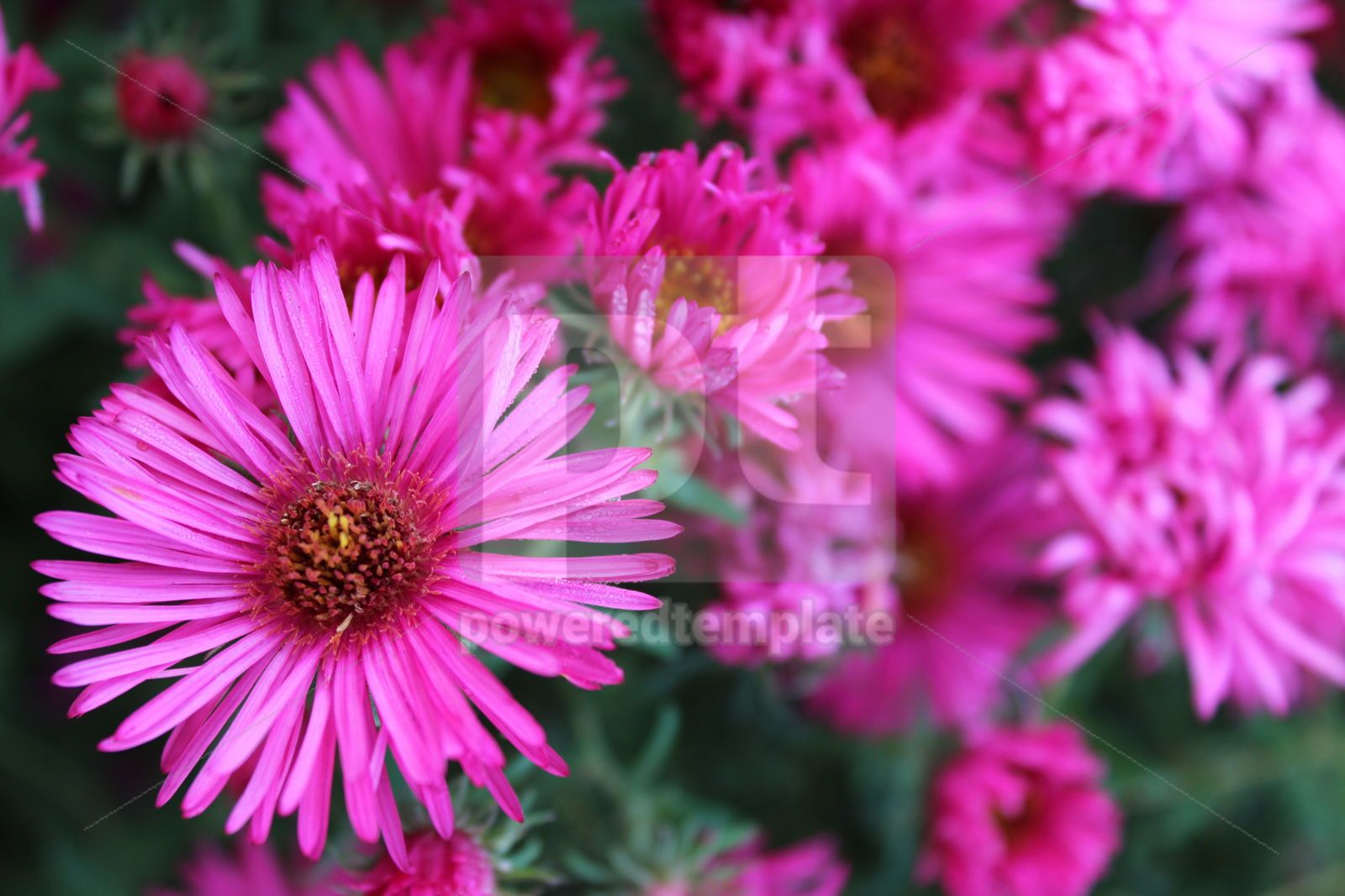 Autumn background with bright pink chrysanthemums Bright autumn floral background, 16414, Nature — PoweredTemplate.com