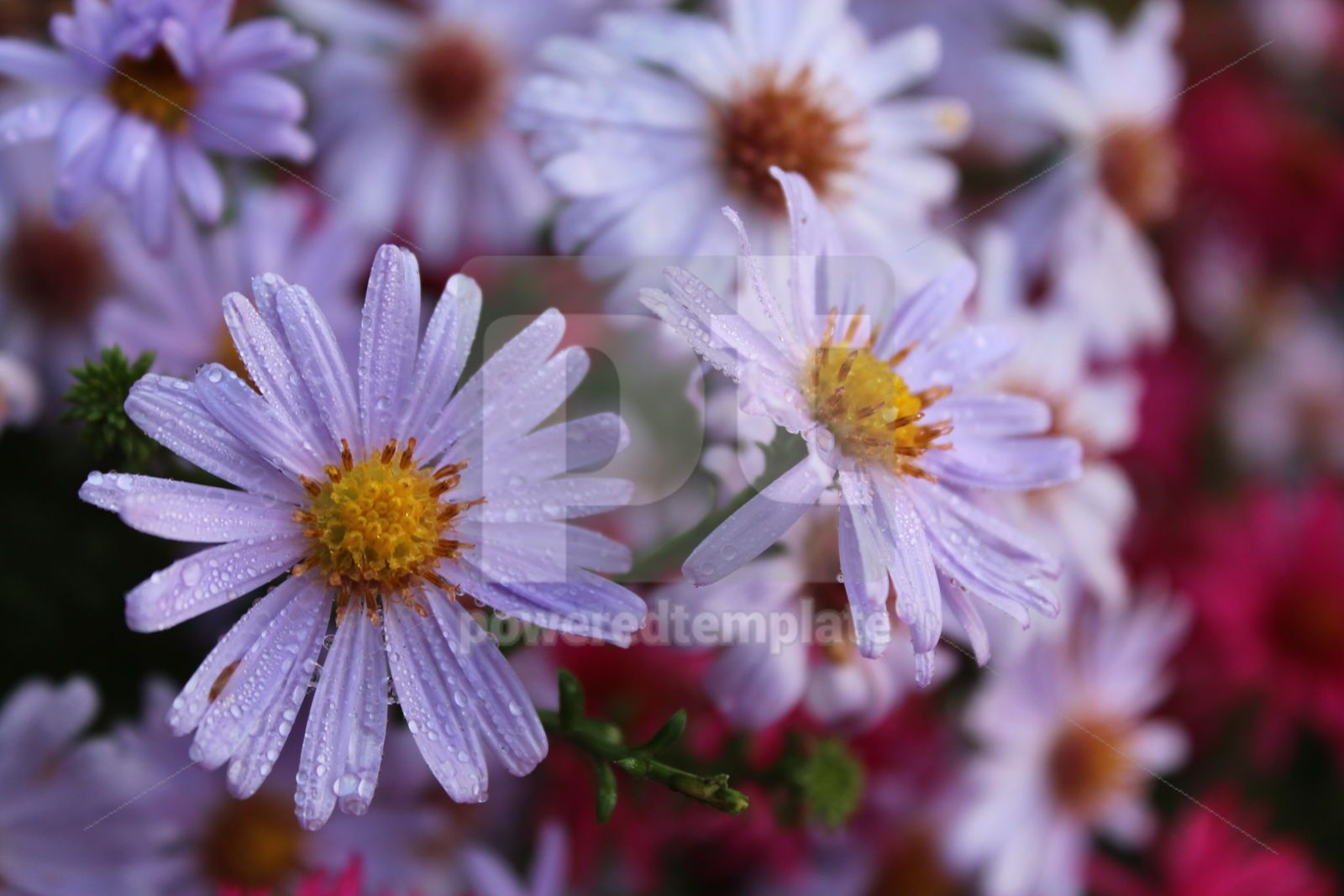 Autumn background with gentle purple flowers Purple chrysanthemums, 16415, Nature — PoweredTemplate.com