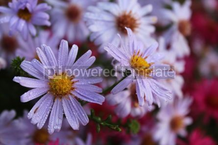 Nature: Autumn background with gentle purple flowers Purple chrysanthemums #16415