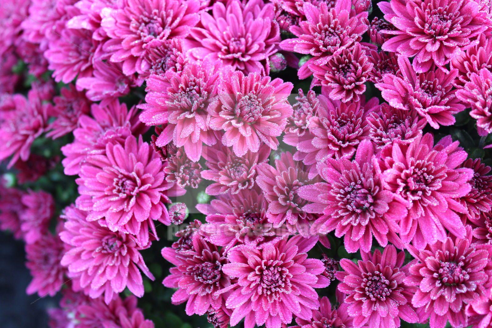 Macro photo with pink chrysanthemums Beautiful pink chrysanthemums with drops of morning dew Close, 16416, Nature — PoweredTemplate.com