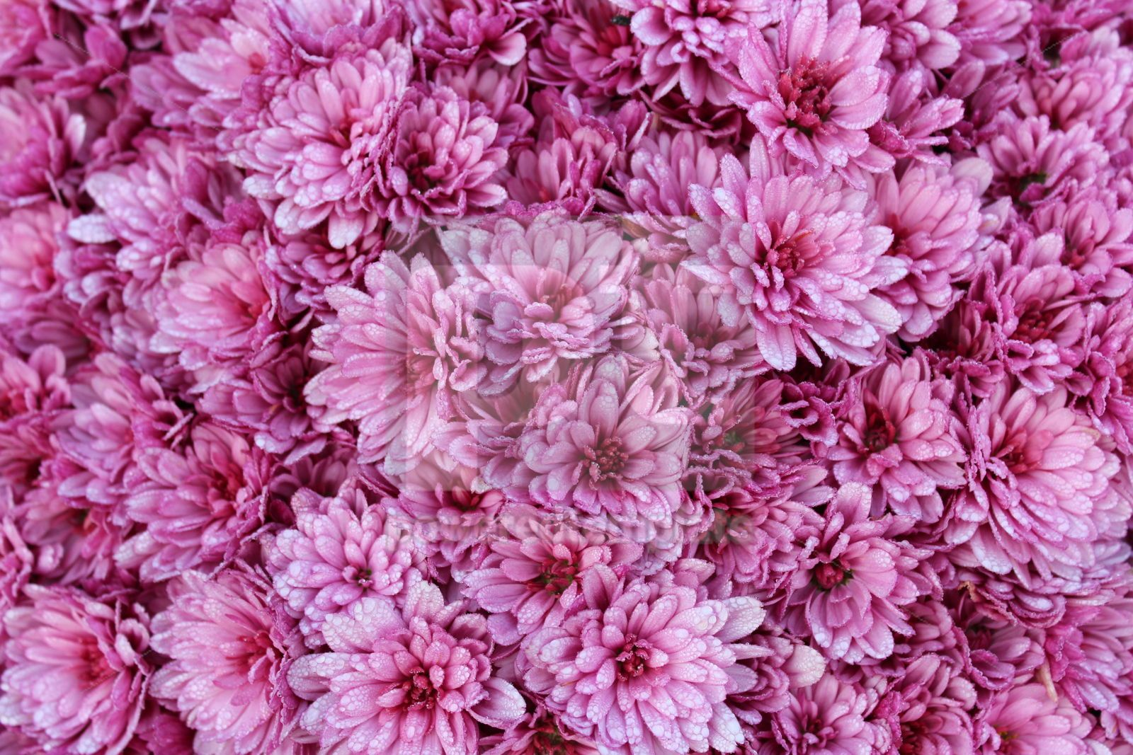 Close-up photo of a bunch of bright pink chrysanthemum flowers covered with drops of morning dew, 16417, Nature — PoweredTemplate.com