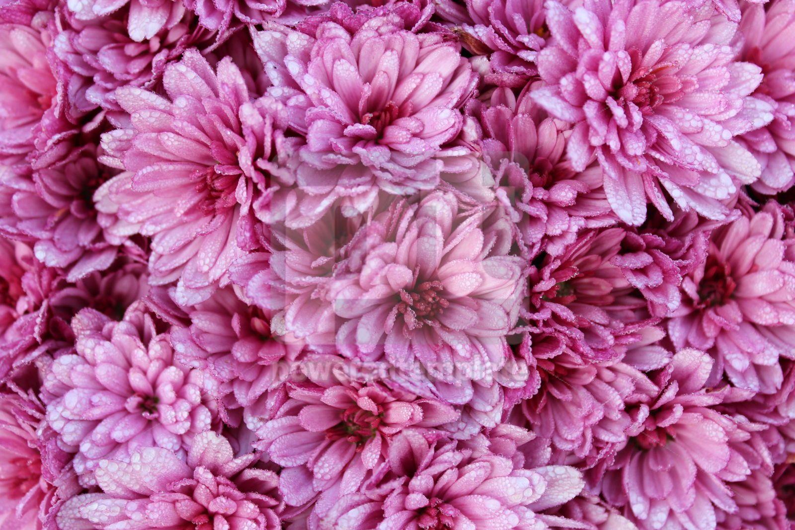 Background with autumn flowers Pink chrysanthemums Chrysanthemum macro photo, 16418, Nature — PoweredTemplate.com