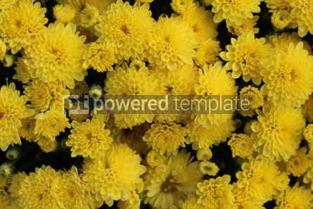 Nature: Autumn background with bright yellow flowers #16419