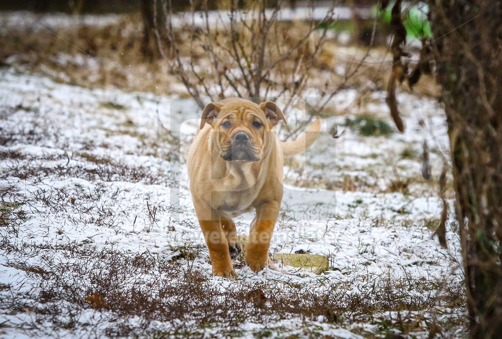 Ca de Bou Mallorquin Mastiff puppy dog, 16442, Animals — PoweredTemplate.com