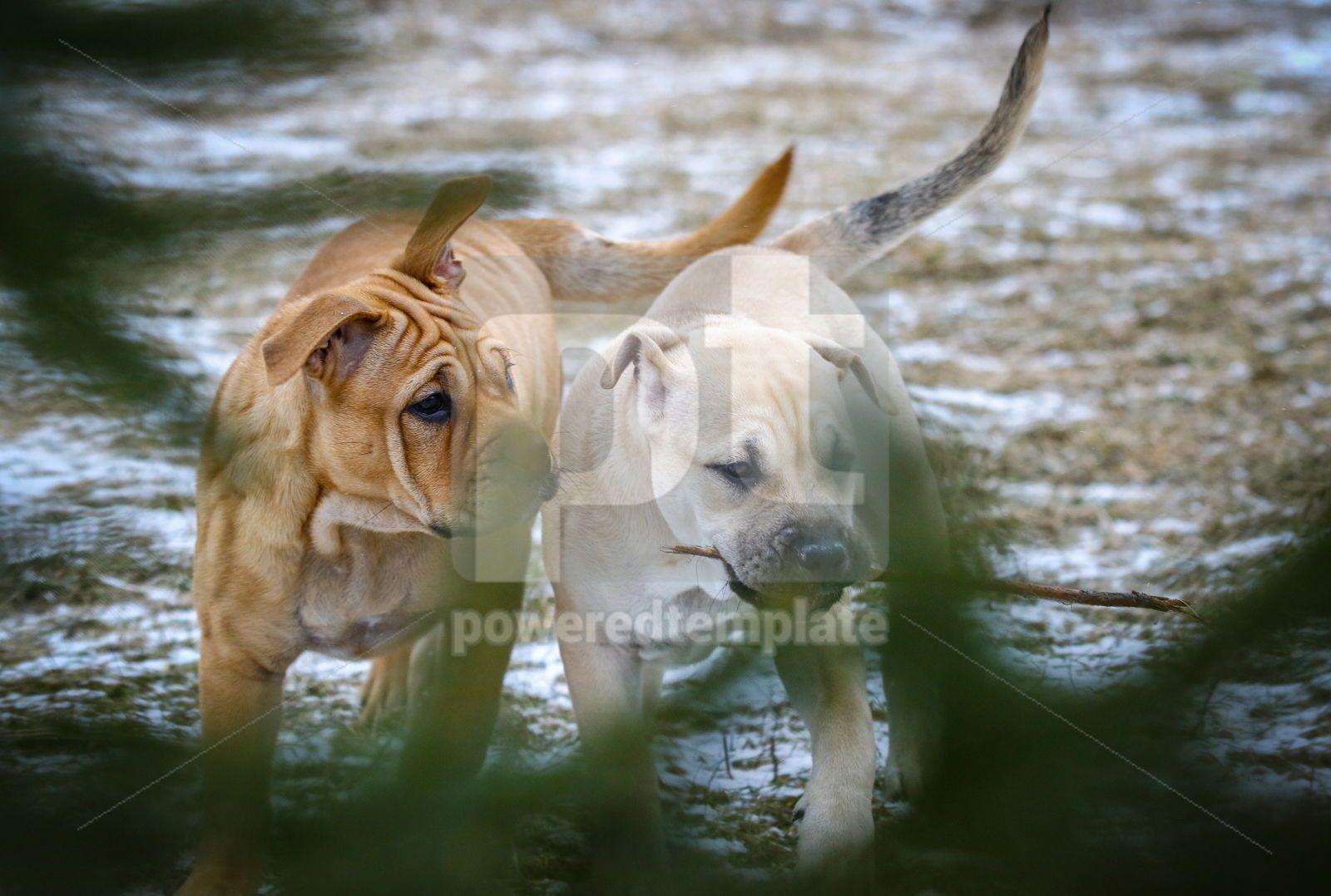Ca de Bou Mallorquin Mastiff puppy dogs, 16443, Animals — PoweredTemplate.com