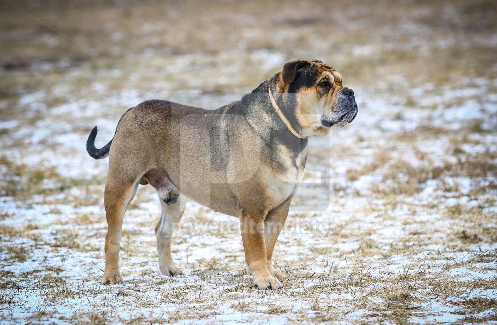 Ca de Bou Mallorquin Mastiff dog, 16445, Animals — PoweredTemplate.com