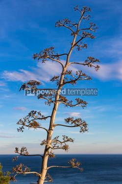 Nature: Flowering Agave Americana plant Century Plant #16454