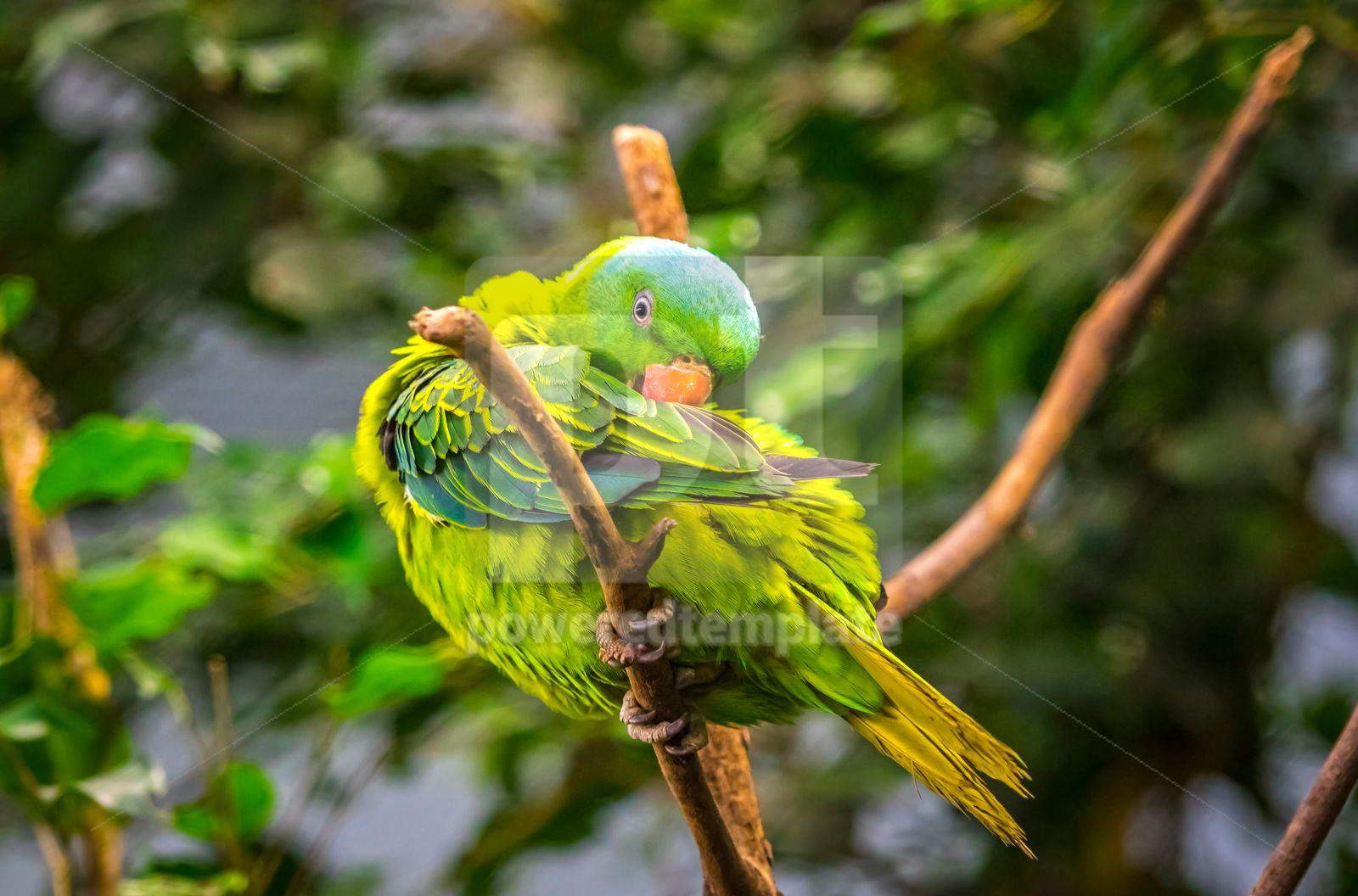 Blue-naped parrot Tanygnathus lucionensis, 16493, Animals — PoweredTemplate.com