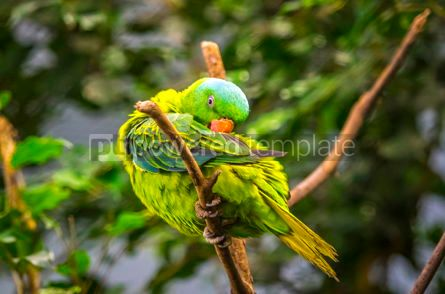 Animals: Blue-naped parrot Tanygnathus lucionensis #16493