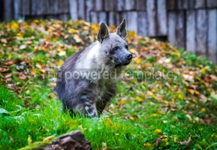 Animals: The brown hyena Hyaena brunnea also called strandwolf #16495