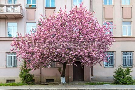 Nature: Blossoming pink sakura tree on the streets of Uzhgorod Ukraine #17908