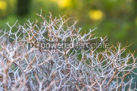 Nature: Sarcopoterium spinosum flowering plants #17923