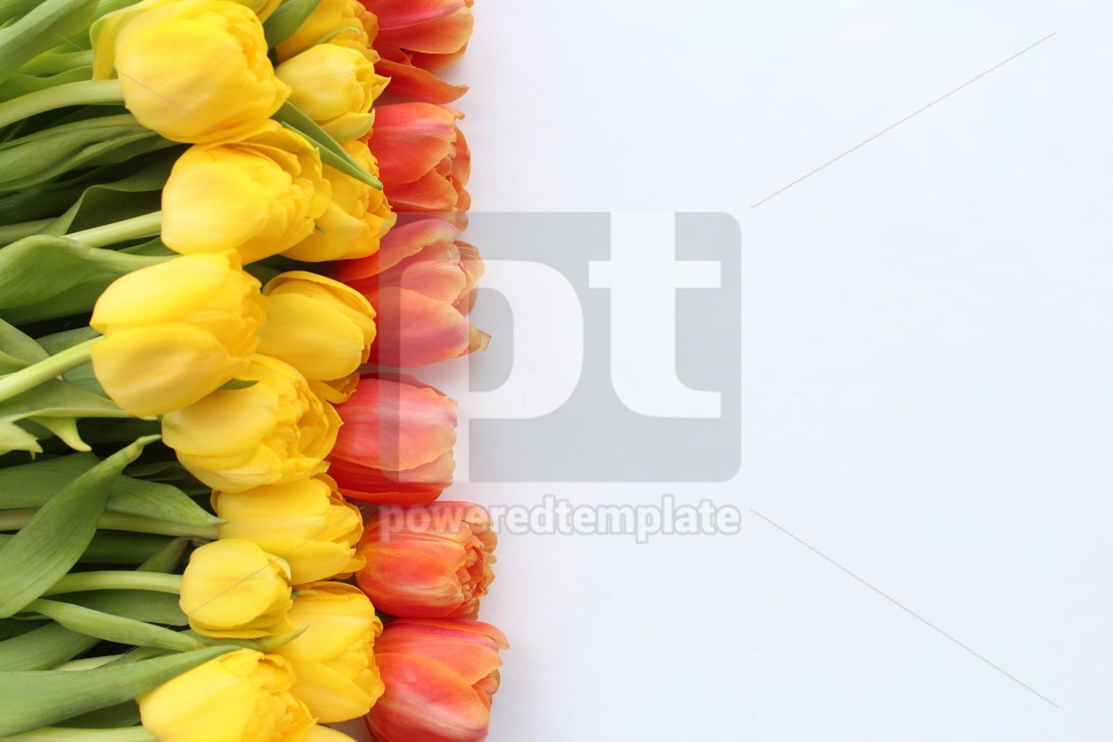 Red and yellow tulips on white background, 18028, Nature — PoweredTemplate.com
