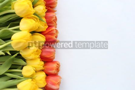 Nature: Red and yellow tulips on white background #18028